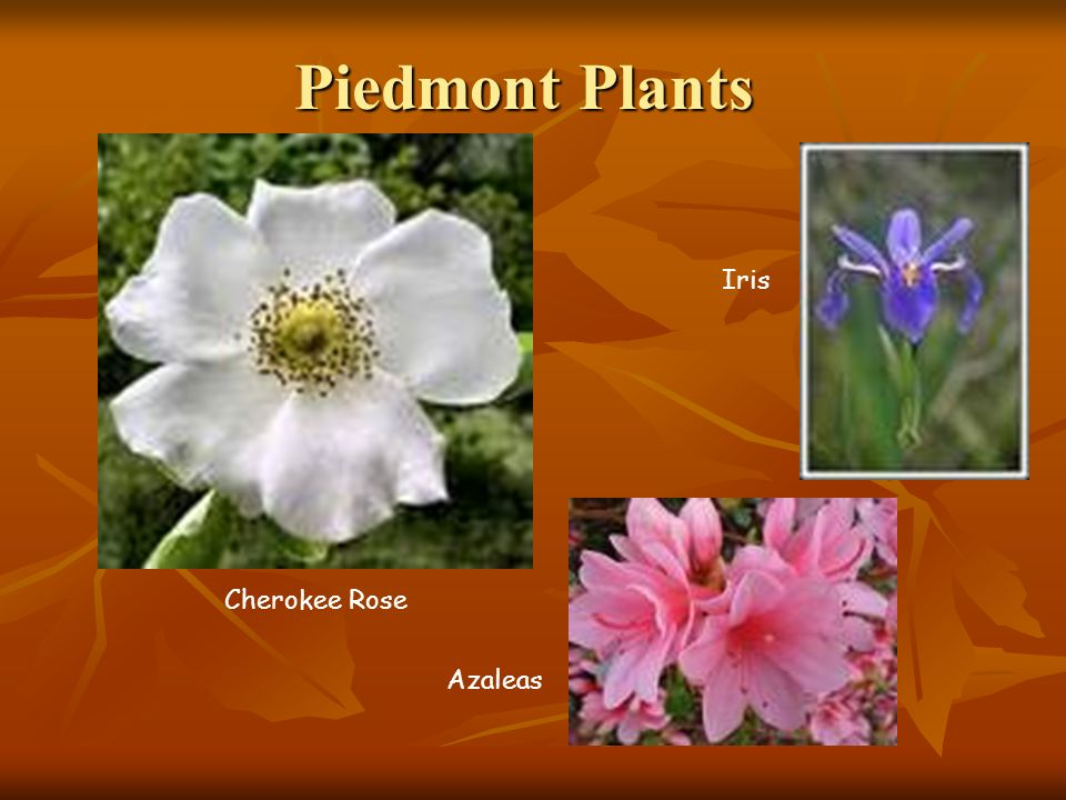 Piedmont Plants Cherokee Rose Iris Azaleas