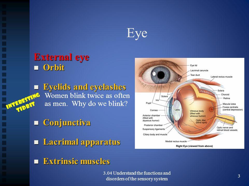 Eye External eye Orbit Orbit Eyelids and eyelashes Eyelids and eyelashes Women blink twice as often as men. Why do we blink? Conjunctiva Conjunctiva L