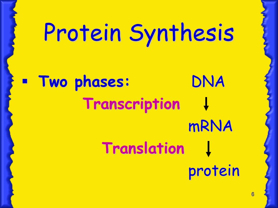 6 Protein Synthesis Two phases: DNA Two phases: DNA Transcription Transcription mRNA mRNA Translation Translationprotein