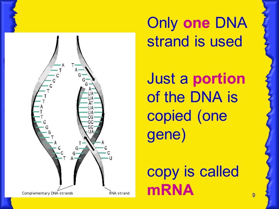 10 RNA Differs from DNA DNARNA Deoxyribose sugar Ribose sugar Double strandedSingle stranded T (thymine)U (uracil)