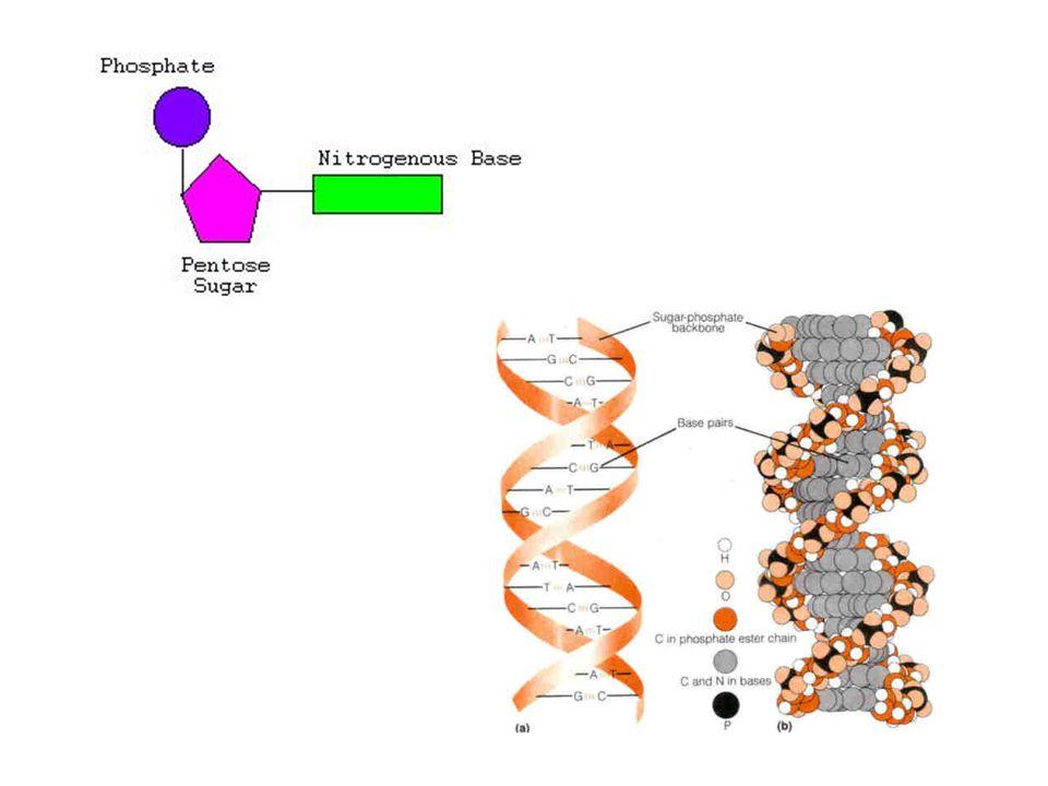 DNA Replication Transcription Translation