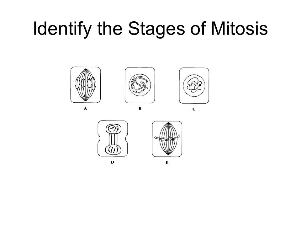 Identify the Stages of Mitosis