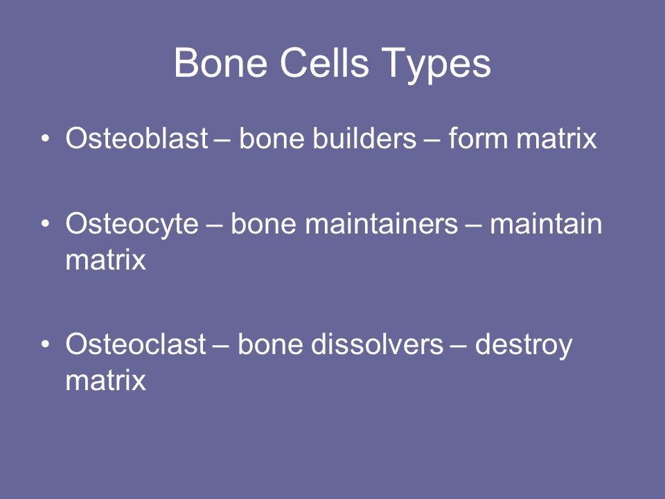 Bone Cells Types Osteoblast – bone builders – form matrix Osteocyte – bone maintainers – maintain matrix Osteoclast – bone dissolvers – destroy matrix