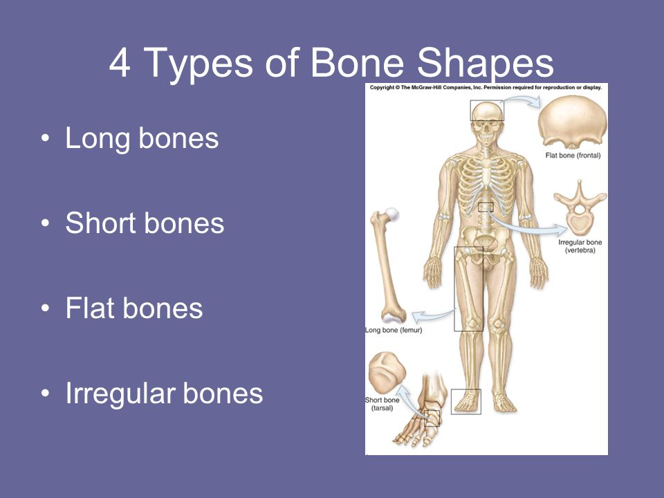 4 Types of Bone Shapes Long bones Short bones Flat bones Irregular bones