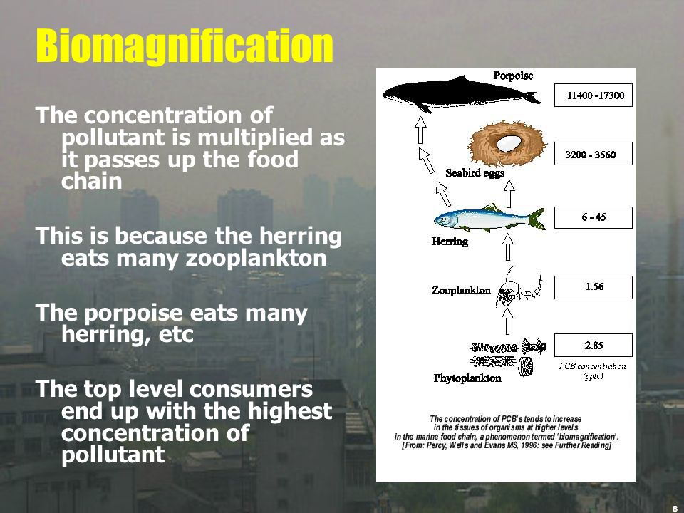8 Biomagnification The concentration of pollutant is multiplied as it passes up the food chain This is because the herring eats many zooplankton The p