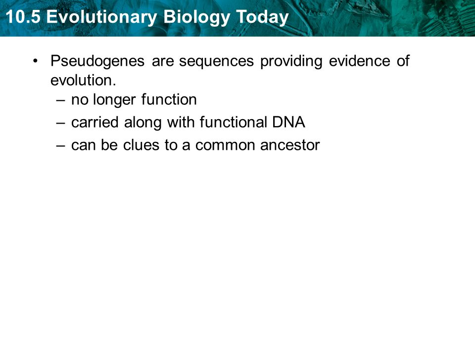 10.5 Evolutionary Biology Today Pseudogenes are sequences providing evidence of evolution. –no longer function –carried along with functional DNA –can
