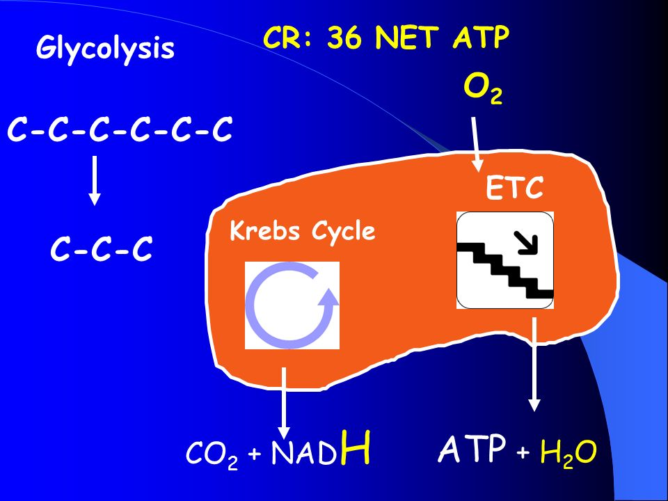 Glycolysis C-C-C-C-C-C C-C-C Krebs Cycle ETC CO 2 + NAD H ATP + H 2 O O2O2 CR: 36 NET ATP