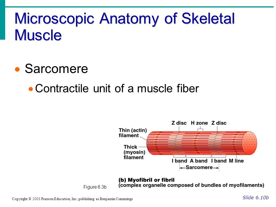 Microscopic Anatomy of Skeletal Muscle Slide 6.10b Copyright © 2003 Pearson Education, Inc. publishing as Benjamin Cummings Sarcomere Contractile unit