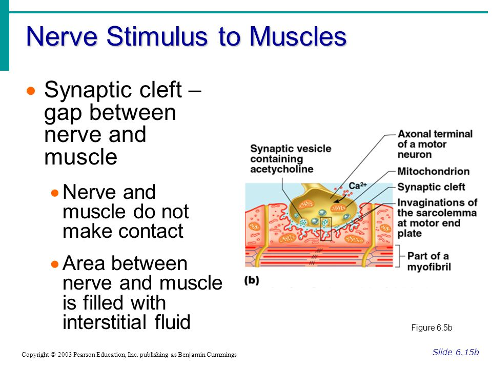 Nerve Stimulus to Muscles Slide 6.15b Copyright © 2003 Pearson Education, Inc. publishing as Benjamin Cummings Synaptic cleft – gap between nerve and