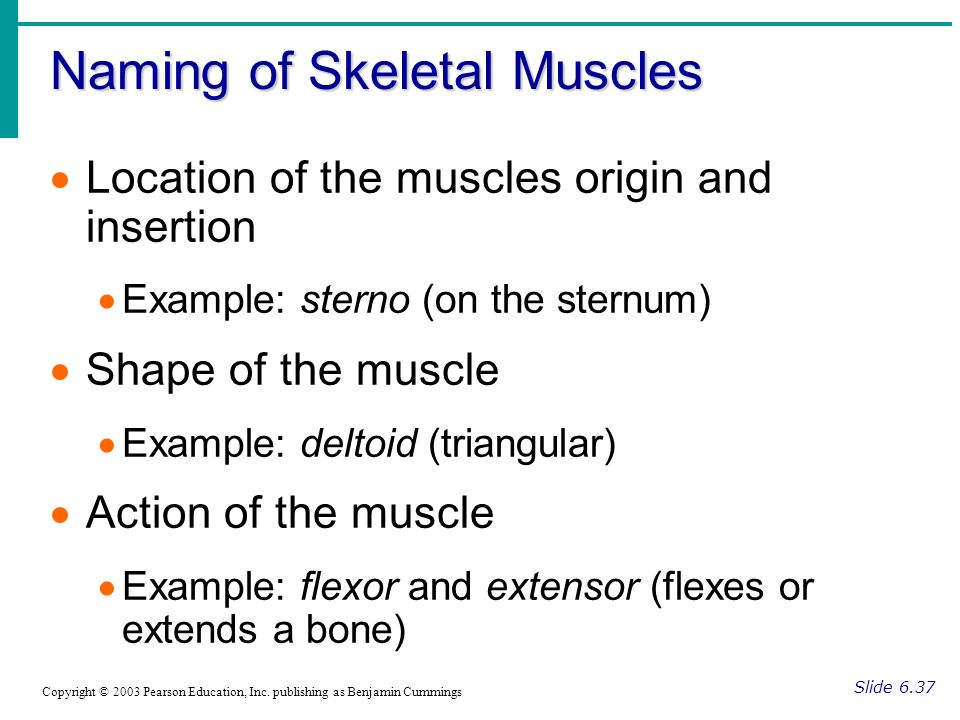 Naming of Skeletal Muscles Slide 6.37 Copyright © 2003 Pearson Education, Inc. publishing as Benjamin Cummings Location of the muscles origin and inse