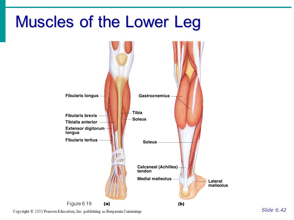 Muscles of the Lower Leg Slide 6.42 Copyright © 2003 Pearson Education, Inc. publishing as Benjamin Cummings Figure 6.19