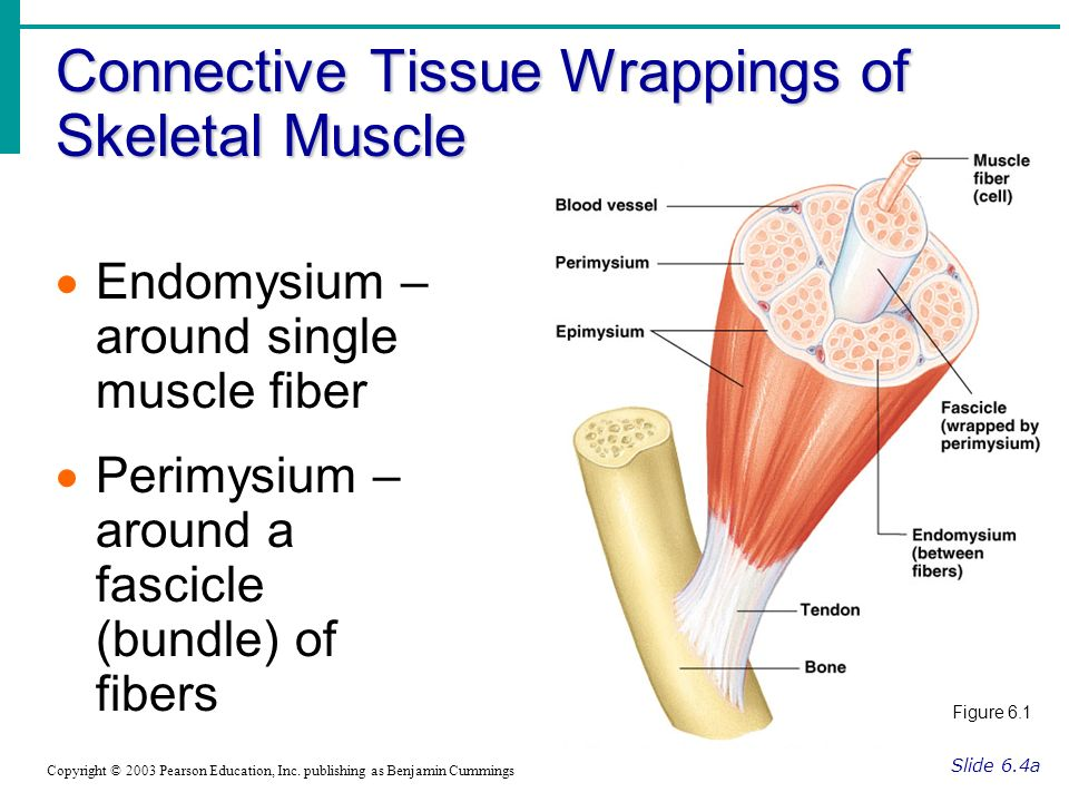 Connective Tissue Wrappings of Skeletal Muscle Slide 6.4a Copyright © 2003 Pearson Education, Inc. publishing as Benjamin Cummings Endomysium – around