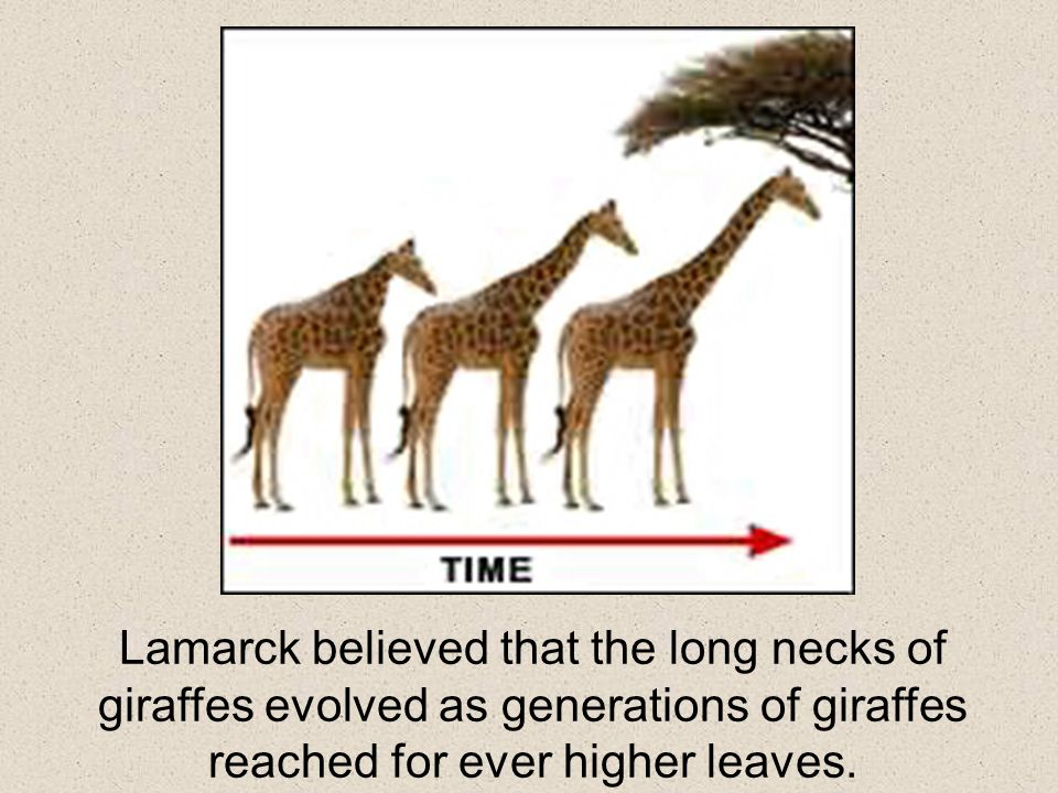 Lamarck believed that the long necks of giraffes evolved as generations of giraffes reached for ever higher leaves.