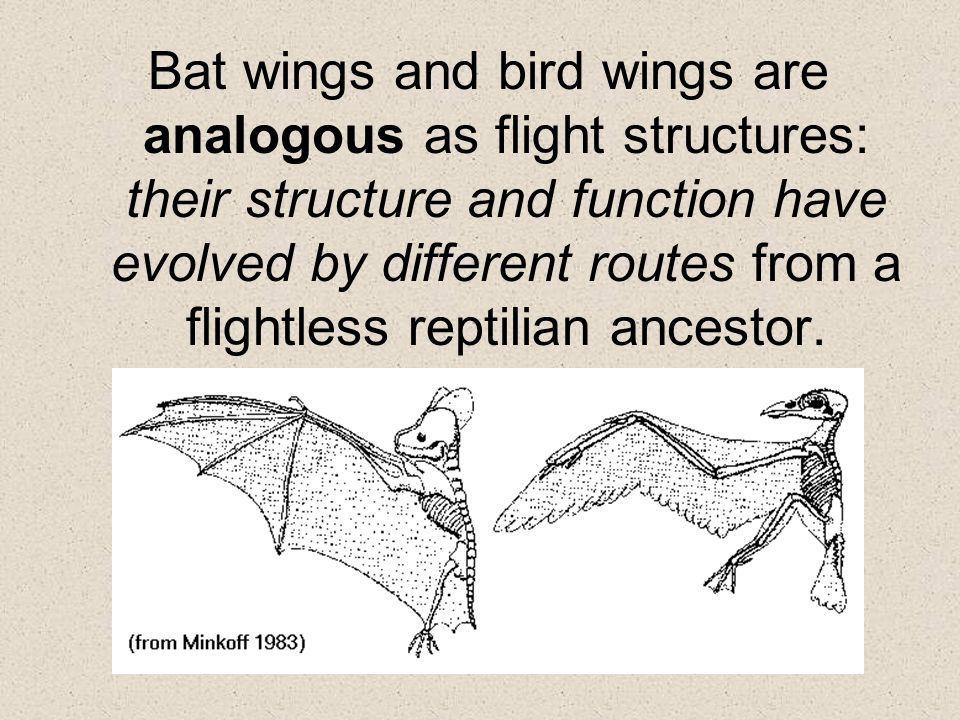 Bat wings and bird wings are analogous as flight structures: their structure and function have evolved by different routes from a flightless reptilian