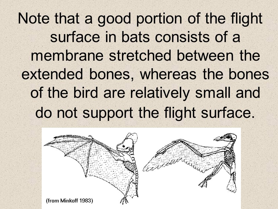 Note that a good portion of the flight surface in bats consists of a membrane stretched between the extended bones, whereas the bones of the bird are
