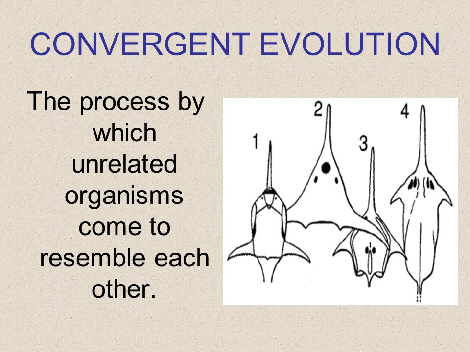 CONVERGENT EVOLUTION The process by which unrelated organisms come to resemble each other.