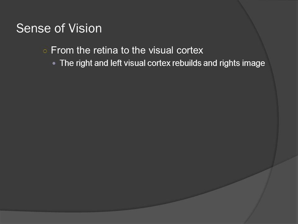 Sense of Vision From the retina to the visual cortex The right and left visual cortex rebuilds and rights image