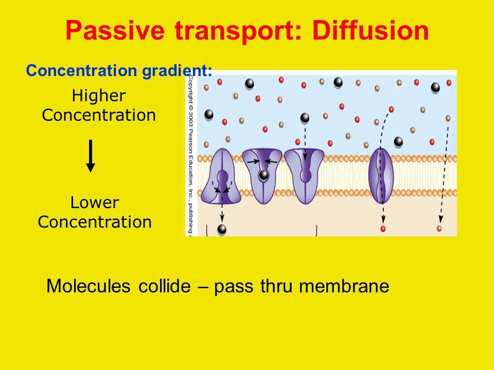 Passive transport: Diffusion Lower Concentration Higher Concentration Molecules collide – pass thru membrane Concentration gradient:
