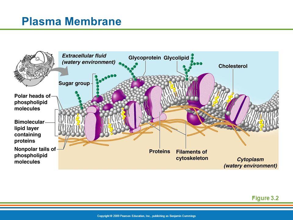 Copyright © 2009 Pearson Education, Inc., publishing as Benjamin Cummings Plasma Membrane Figure 3.2