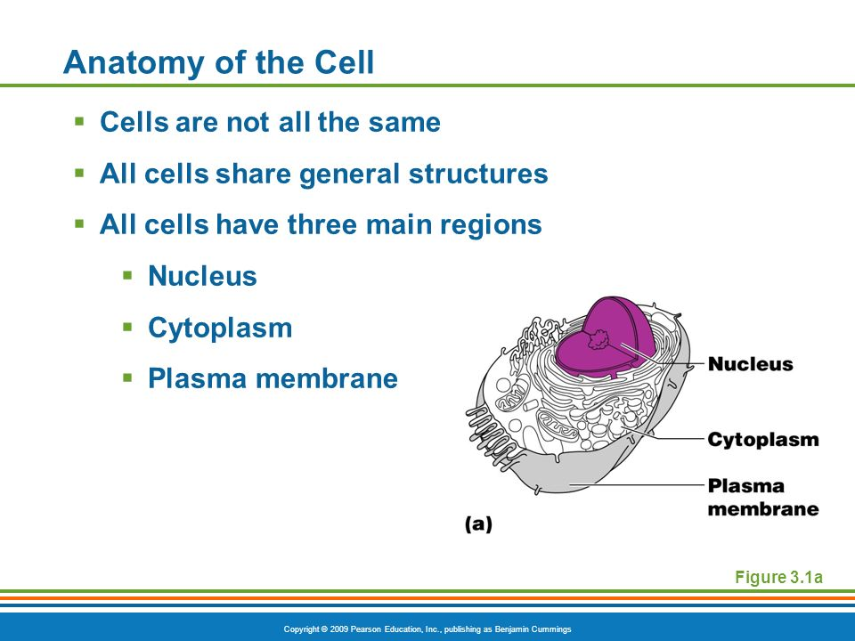 Copyright © 2009 Pearson Education, Inc., publishing as Benjamin Cummings Anatomy of the Cell Cells are not all the same All cells share general struc