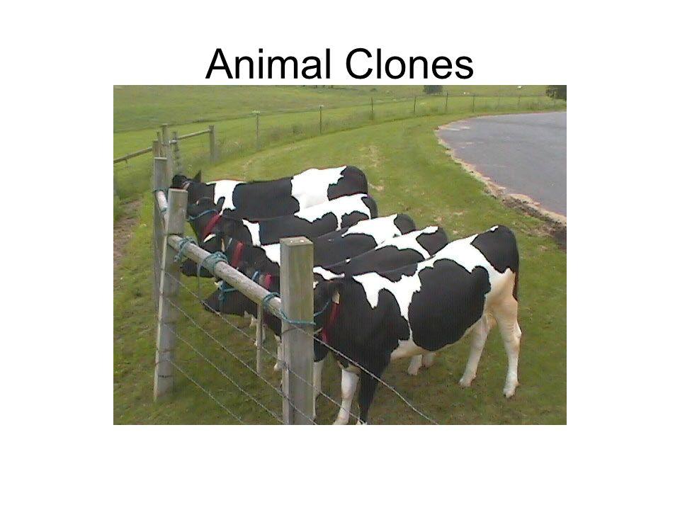 Animal Clones