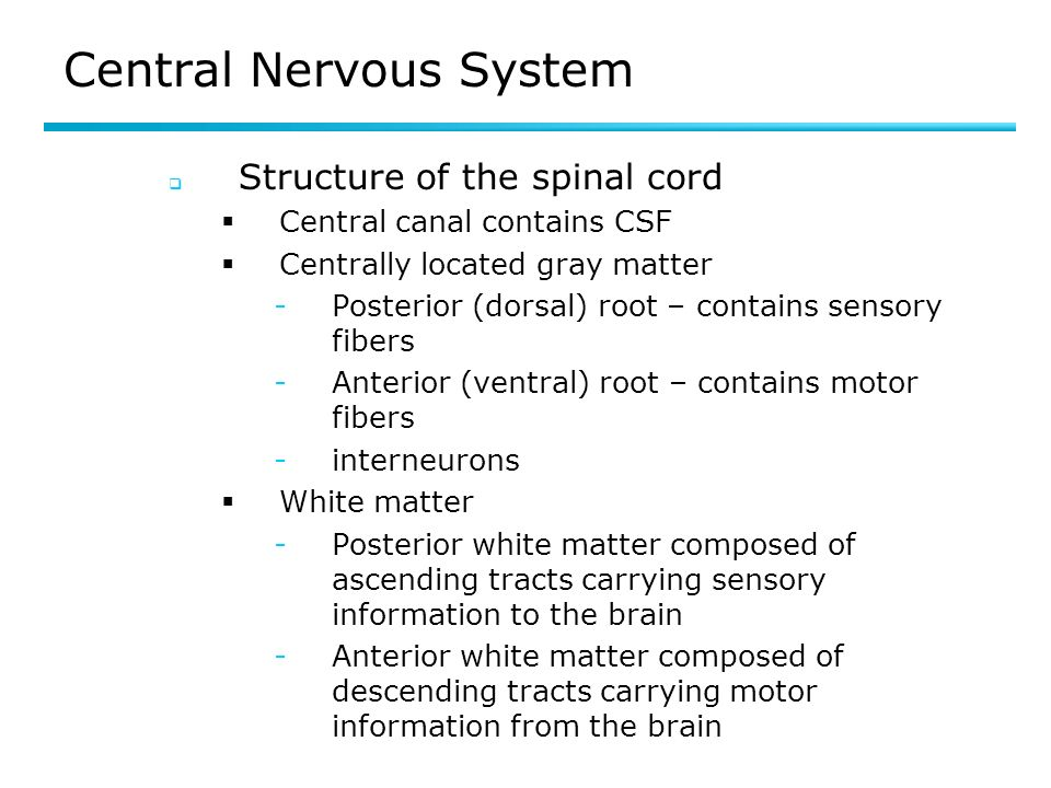 Central Nervous System Structure of the spinal cord Central canal contains CSF Centrally located gray matter ­Posterior (dorsal) root – contains sensory fibers ­Anterior (ventral) root – contains motor fibers ­interneurons White matter ­Posterior white matter composed of ascending tracts carrying sensory information to the brain ­Anterior white matter composed of descending tracts carrying motor information from the brain
