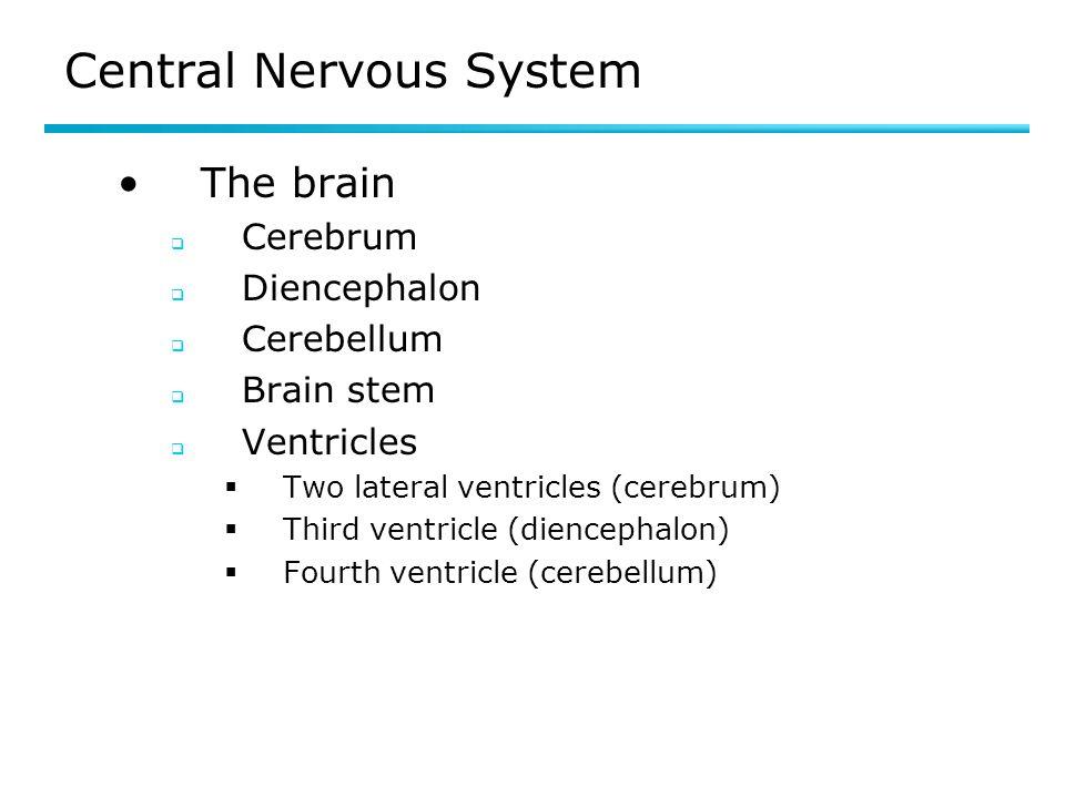 Central Nervous System The brain Cerebrum Diencephalon Cerebellum Brain stem Ventricles Two lateral ventricles (cerebrum) Third ventricle (diencephalo