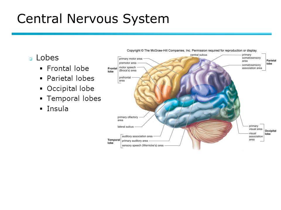 Central Nervous System Lobes Frontal lobe Parietal lobes Occipital lobe Temporal lobes Insula Fig 8.9
