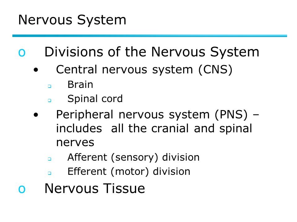 Nervous System oDivisions of the Nervous System Central nervous system (CNS) Brain Spinal cord Peripheral nervous system (PNS) – includes all the cranial and spinal nerves Afferent (sensory) division Efferent (motor) division oNervous Tissue