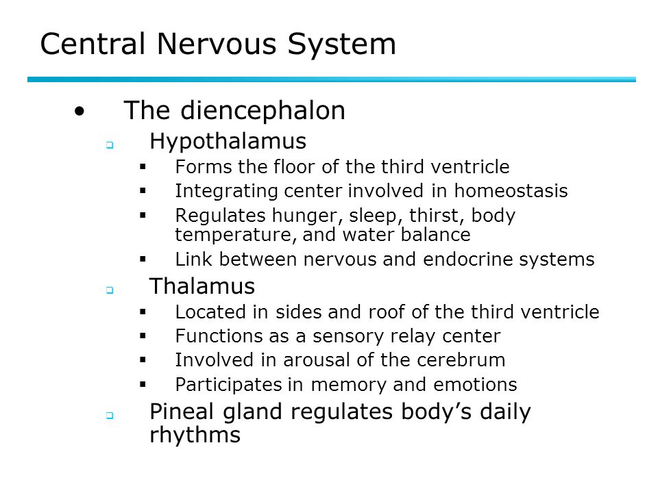 Central Nervous System The diencephalon Hypothalamus Forms the floor of the third ventricle Integrating center involved in homeostasis Regulates hunger, sleep, thirst, body temperature, and water balance Link between nervous and endocrine systems Thalamus Located in sides and roof of the third ventricle Functions as a sensory relay center Involved in arousal of the cerebrum Participates in memory and emotions Pineal gland regulates bodys daily rhythms