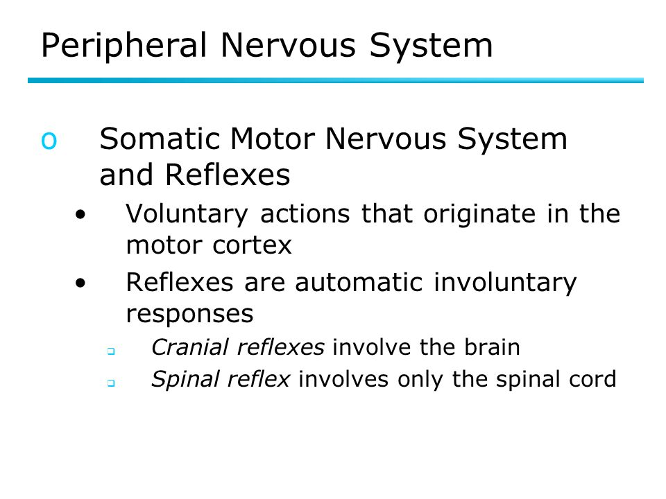 Peripheral Nervous System oSomatic Motor Nervous System and Reflexes Voluntary actions that originate in the motor cortex Reflexes are automatic involuntary responses Cranial reflexes involve the brain Spinal reflex involves only the spinal cord