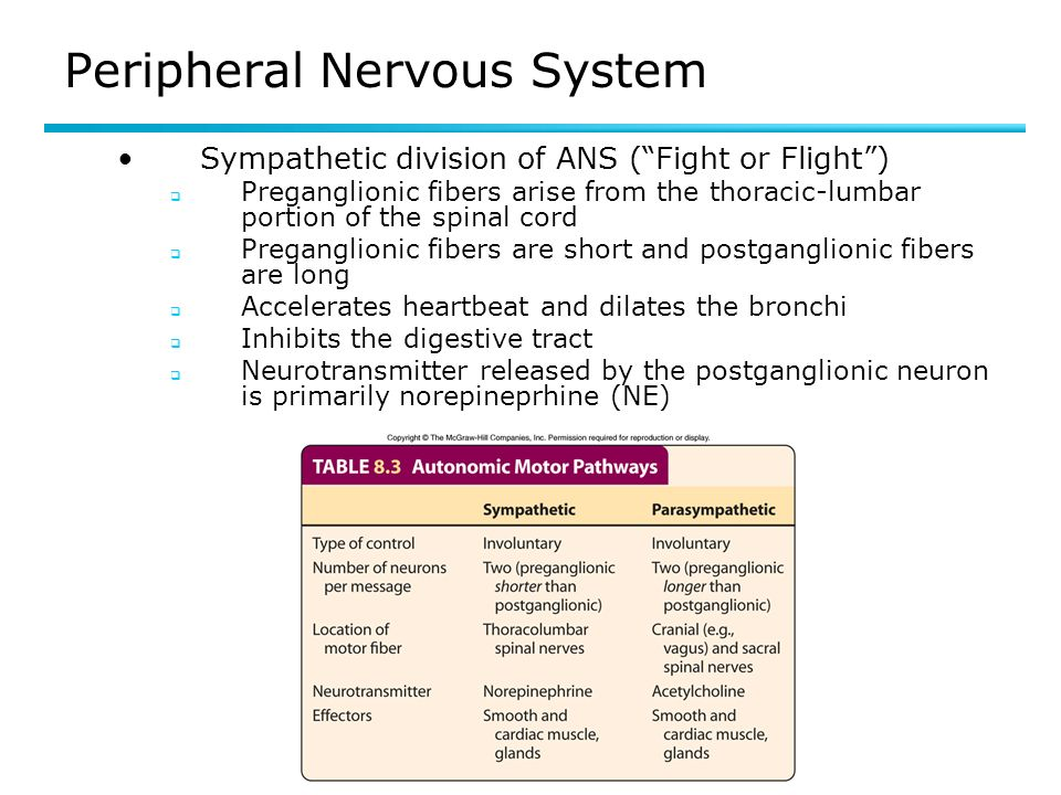 Peripheral Nervous System Sympathetic division of ANS (Fight or Flight) Preganglionic fibers arise from the thoracic-lumbar portion of the spinal cord Preganglionic fibers are short and postganglionic fibers are long Accelerates heartbeat and dilates the bronchi Inhibits the digestive tract Neurotransmitter released by the postganglionic neuron is primarily norepineprhine (NE) TA 8.3