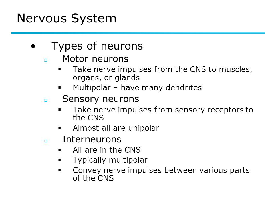 Nervous System Types of neurons Motor neurons Take nerve impulses from the CNS to muscles, organs, or glands Multipolar – have many dendrites Sensory neurons Take nerve impulses from sensory receptors to the CNS Almost all are unipolar Interneurons All are in the CNS Typically multipolar Convey nerve impulses between various parts of the CNS