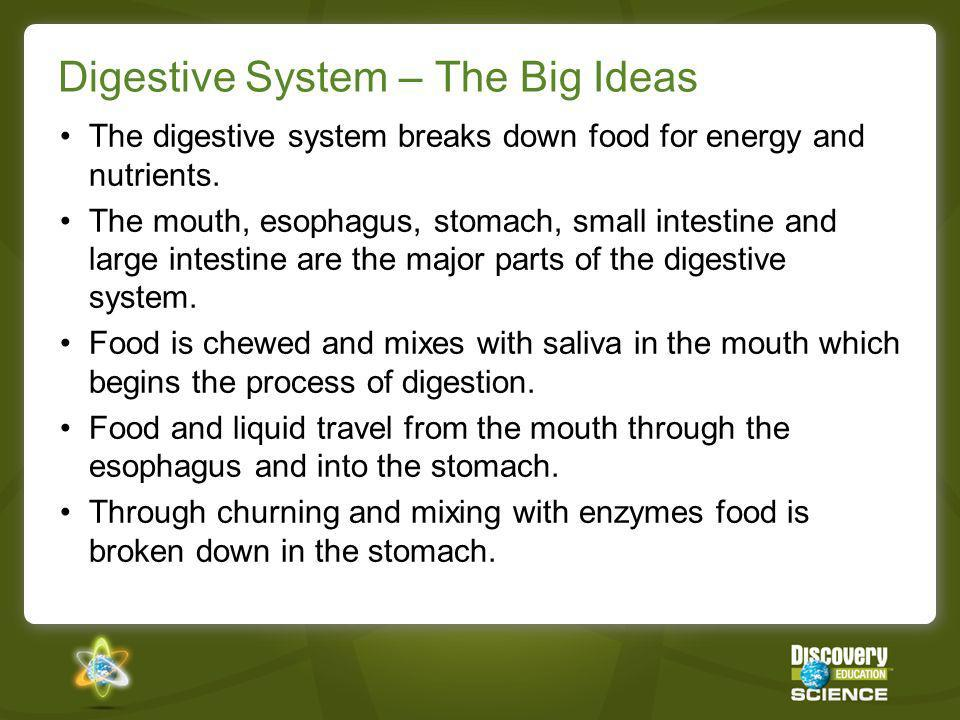 Digestive System – The Big Ideas The digestive system breaks down food for energy and nutrients. The mouth, esophagus, stomach, small intestine and la