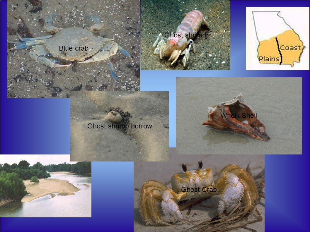 Blue crab Ghost Crab Whelk Shell Ghost shrimp borrow Ghost shrimp