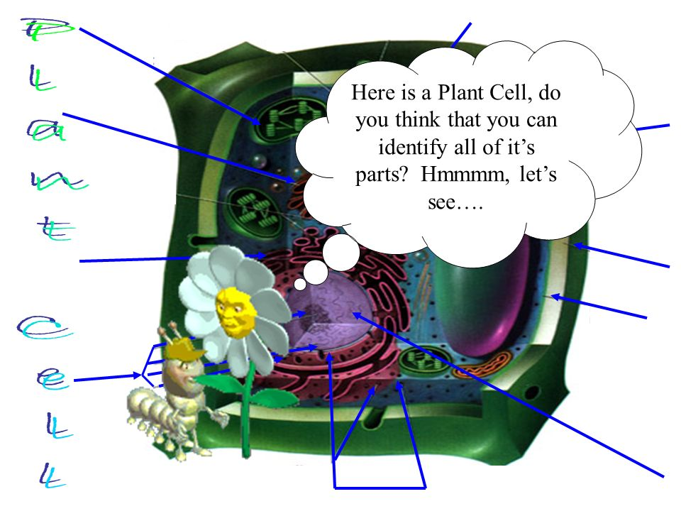 Here is a Plant Cell, do you think that you can identify all of its parts? Hmmmm, lets see….