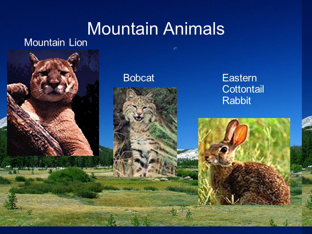 Mountain Animals Mountain Lion Bobcat Eastern Cottontail Rabbit