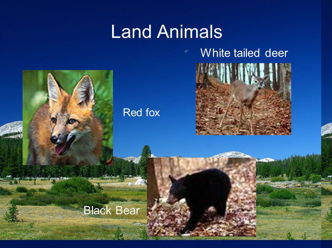 Land Animals Black Bear Red fox White tailed deer