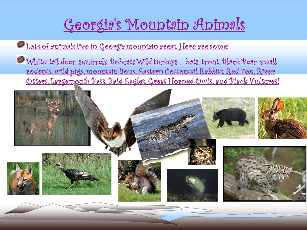Georgia's Mountain Animals Lots of animals live in Georgia mountain areas. Here are some: White-tail deer, squirrels, Bobcats,Wild turkeys, bats, trou