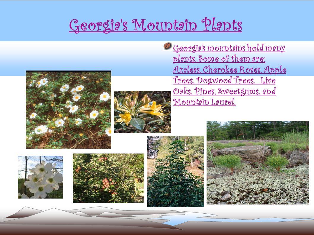 Georgia's Mountain Plants Georgia's mountains hold many plants. Some of them are: Azaleas, Cherokee Roses, Apple Trees, Dogwood Trees, Live Oaks, Pine
