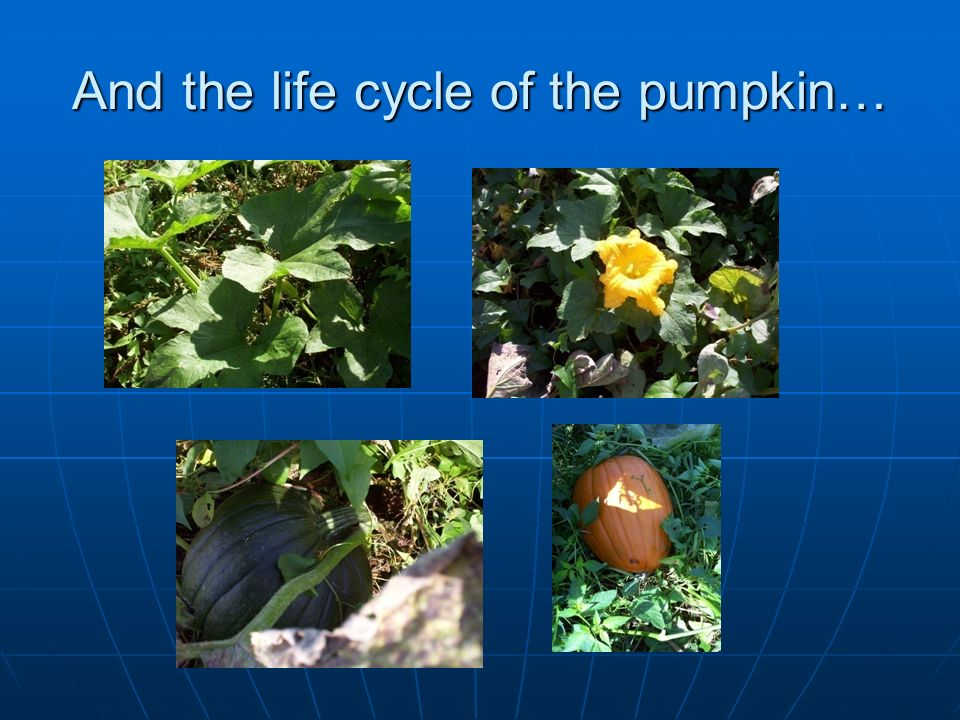 And the life cycle of the pumpkin…