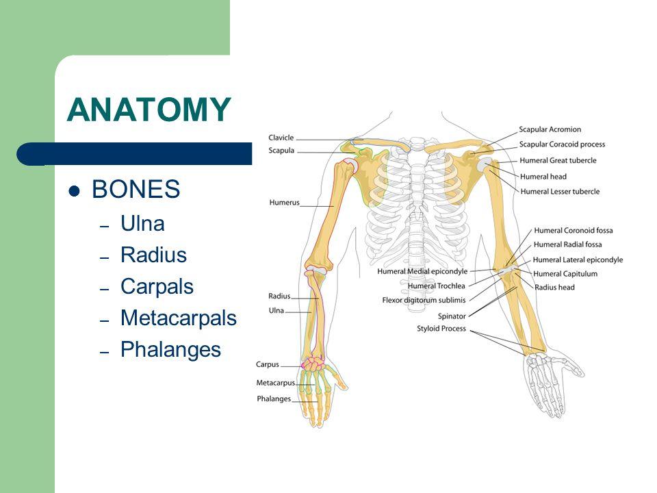 ANATOMY BONES – Ulna – Radius – Carpals – Metacarpals – Phalanges