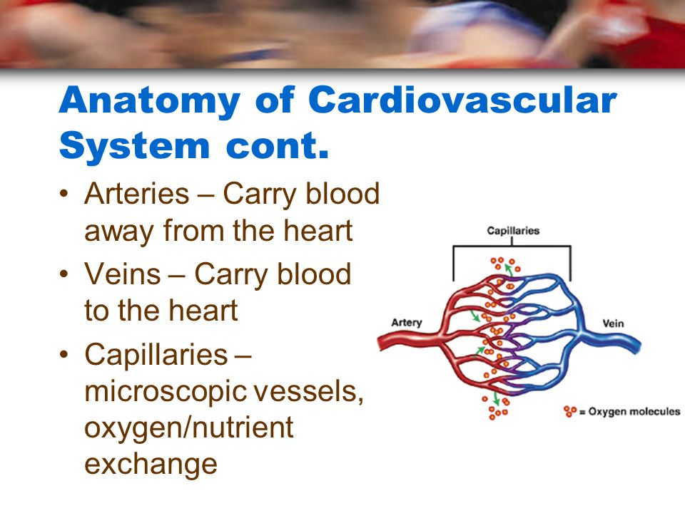 Anatomy of Cardiovascular System cont. Arteries – Carry blood away from the heart Veins – Carry blood to the heart Capillaries – microscopic vessels,