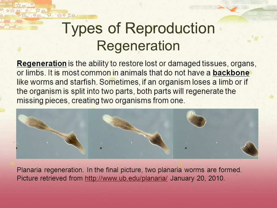 Types of Reproduction Regeneration Regeneration is the ability to restore lost or damaged tissues, organs, or limbs. It is most common in animals that