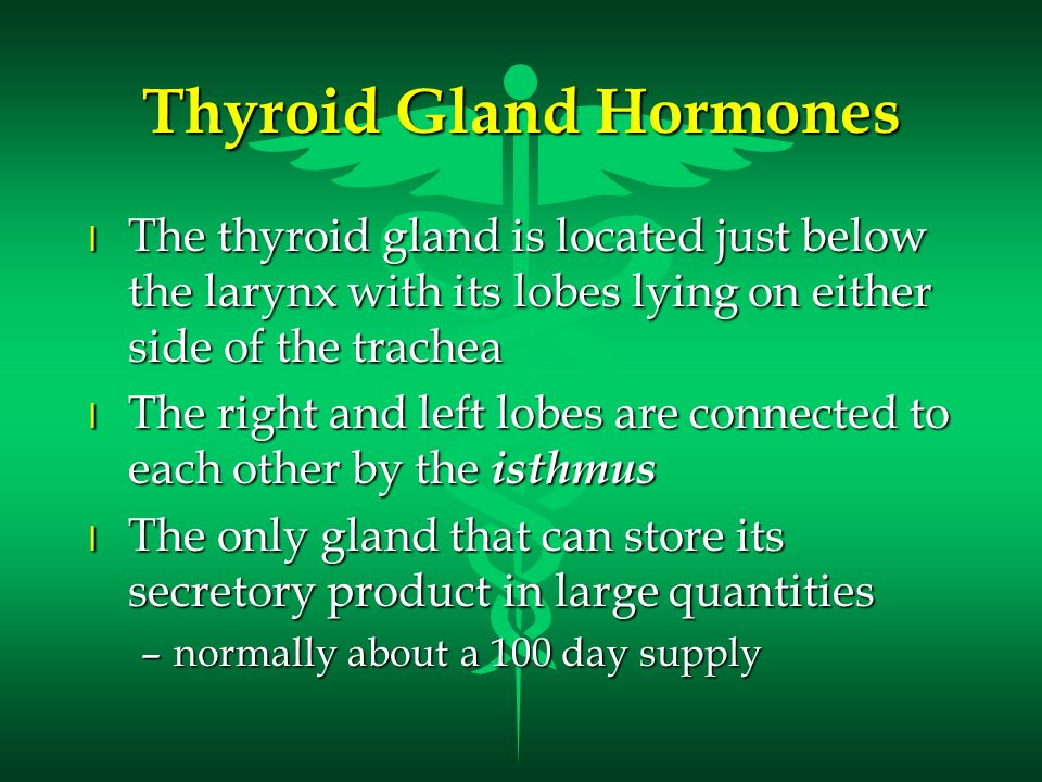 Thyroid Gland Hormones l The thyroid gland is located just below the larynx with its lobes lying on either side of the trachea l The right and left lo