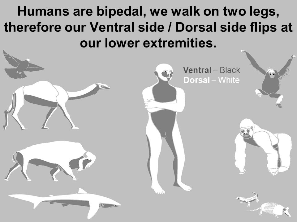 Humans are bipedal, we walk on two legs, therefore our Ventral side / Dorsal side flips at our lower extremities. Ventral – BlackDorsal – White Ventra