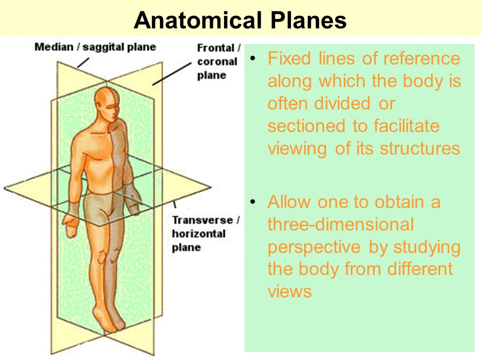 Positions and Directions Ventral Towards the front or belly You Vent out or your nose and mouth.