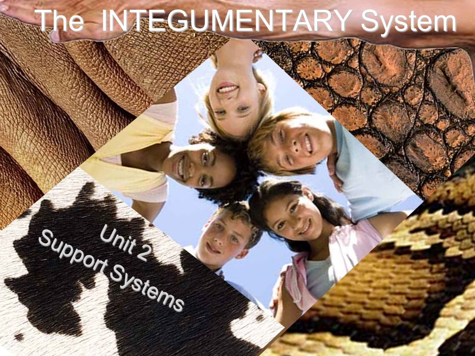 The INTEGUMENTARY System Unit 2 Support Systems