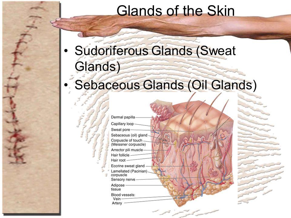 Glands of the Skin Sudoriferous Glands (Sweat Glands) Sebaceous Glands (Oil Glands)