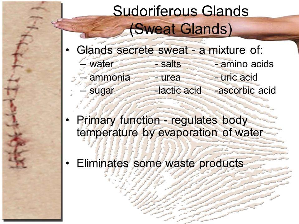 Sudoriferous Glands (Sweat Glands) Glands secrete sweat - a mixture of: –water- salts- amino acids –ammonia- urea- uric acid –sugar-lactic acid-ascorb